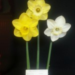 'Golden Joy', 'Trumpet Warrior', 'Park Springs'   Winner of three blooms from divisions 1, 2 and 3 Christine Yeardley