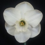 'Misty Glen' Winner division 2 single bloom  Exhibitor Sue Vinden  Best bloom division 2 and Best Bloom in Show