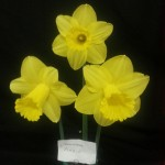 'Arkle'  Winner of class for three blooms division 1 Exhibitor ?