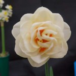 One Cultivar, Division 4 - White Perianth. Steve Ryan: Gay Kybo