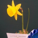 Champion Bloom division 10 'Little Soldier' - Ivor Fox