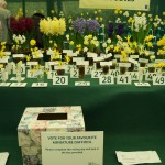Vote for your favourite Miniature Daffodil -