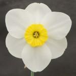 'Astrid's Memory Grand Champion Bloom Ken Harrop