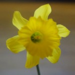 Class 16 Narcissus bujei