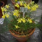Narcissus incurvicervicus Anne Wright