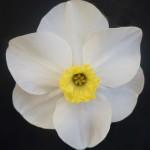 Best Bloom Div 3 Angela Purnell Evesham