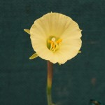Best Miniature Brian Duncan N. graellsii