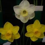 3 blooms Div 2 Steve Ryan Flowers?