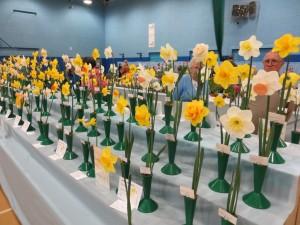 glorious daffodils