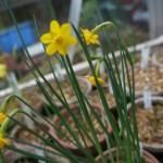 Narcissus calcicola