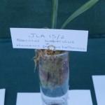 Seedling JLA 16/2 James Akers