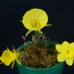 6 miniatures Vase2 N. ectandrus, graelsii, rupicola Wendy Akers