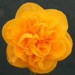 Best Bloom 'Goyt Valley' Len Olive