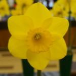 'Ombersley' Best Bloom Wendy Akers