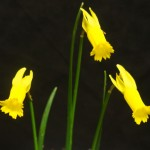3 Miniatures N. cyclamineus Christine Yeadley